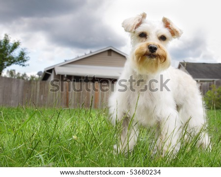 Cute white miniature schnauzer dog standing on green grassy lawn - stock photo