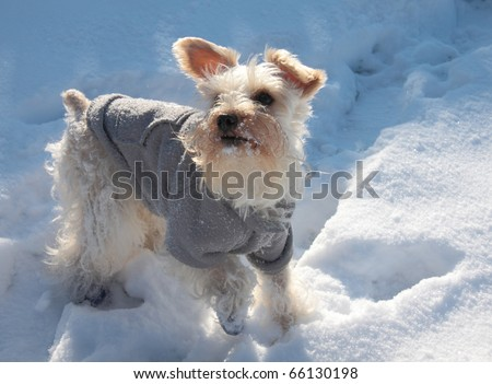 Cute white miniature schnauzer dog with ears perked up plays in snow wearing gray sweater and blue shoes - stock photo