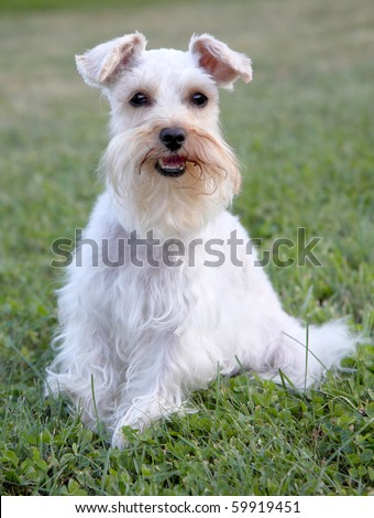 Cute white miniature schnauzer sits at attention, looking at viewer - stock photo