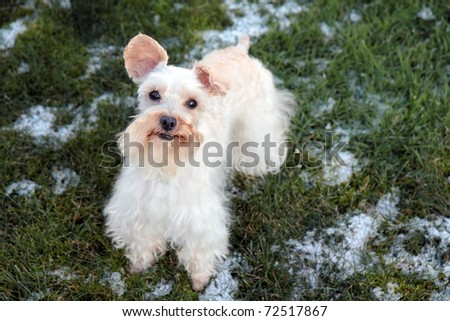 Cute white miniature schnauzer stands in snowy yard, staring alertly at camera - stock photo
