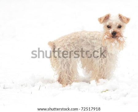 Cute white miniature schnauzer stands in snowy yard, staring alertly at camera