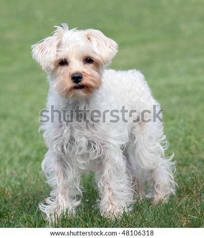 Cute white miniature schnauzer stares at viewer with curious expression - stock photo