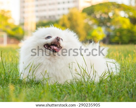 Cute white  Pomeranian or Pom playing on the lawn - stock photo