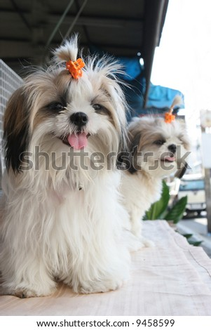 Cute white puppies with clips in their fur. - stock photo