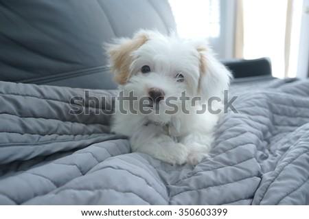 Cute white puppy - stock photo
