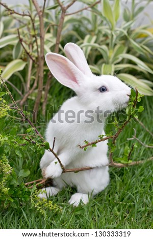 Cute white rabbit eating Basil leaf - stock photo