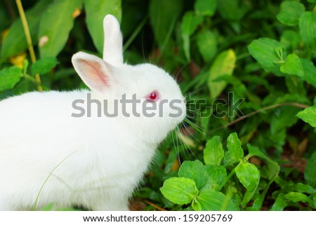 Cute white rabbit with red eye