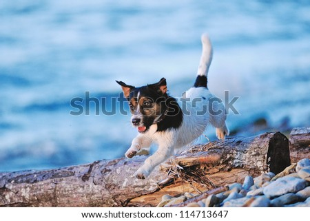 Cute white terrier running along the seashore
