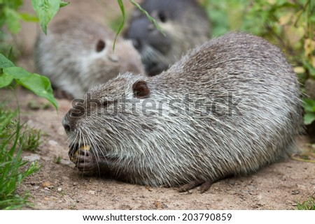 Cute wild furry coypus (river rat, nutria) eating bread on the riverside near the green grass, close up - stock photo