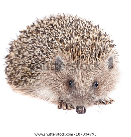 Cute wild hedgehog isolated - stock photo