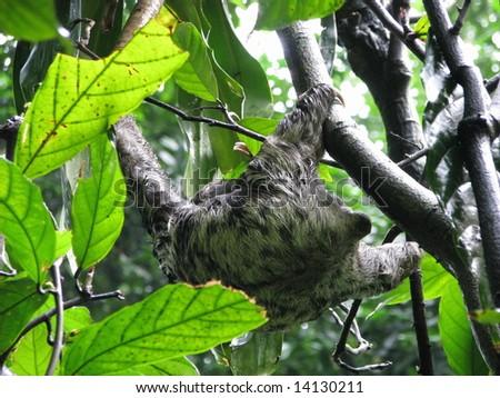 Cute wild sloth from Amazonia, Brazil - stock photo