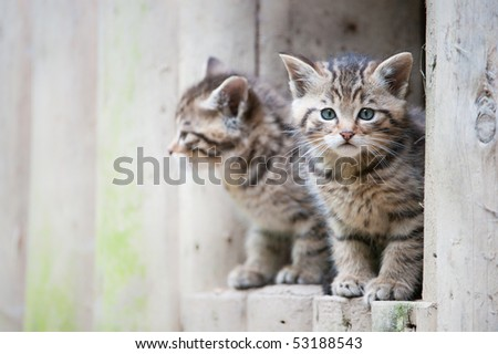 cute wildcat babies (lat. Felis silvestris) - stock photo