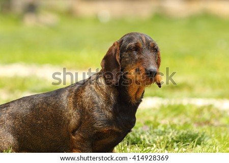 cute wire haired dachshund standing on lawn - stock photo