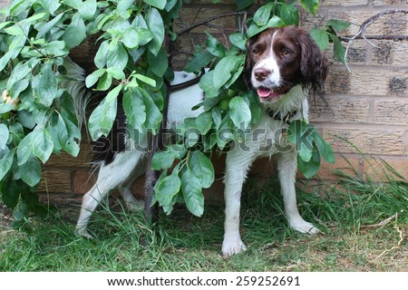 cute working type english springer spaniel hiding behind a tree - stock photo