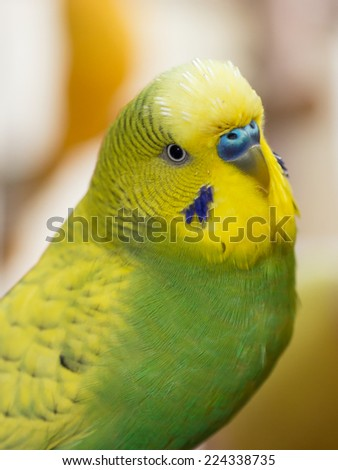 Cute yellow and green male budgerigar close up portrait