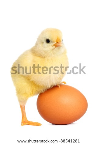 Cute yellow baby chick - stock photo