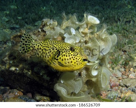 Cute yellow giant puffer fish juvenile - stock photo