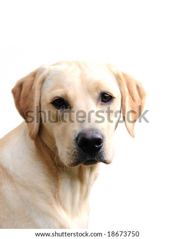 cute yellow labrador