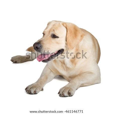 Cute Yellow Labrador Retriever dog isolated on white background
