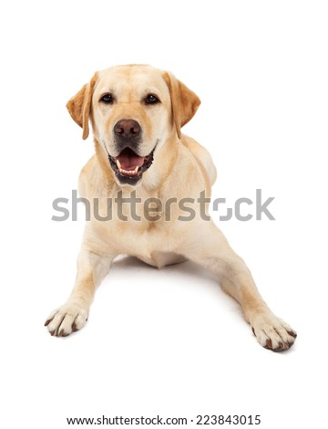 Cute yellow Labrador Retriever dog laying with a happy expression on her face