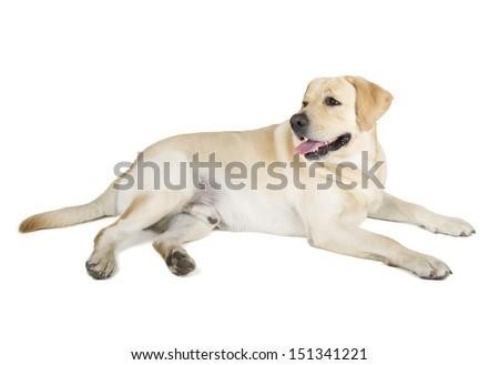 Cute Yellow Labrador Retriever dog lying on white background - stock photo