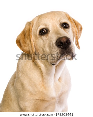 Cute yellow labrador retriever puppy head shot looking guilty isolated on white background - stock photo