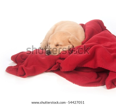 cute yellow mixed breed puppy sleeping on red blanket with white background - stock photo