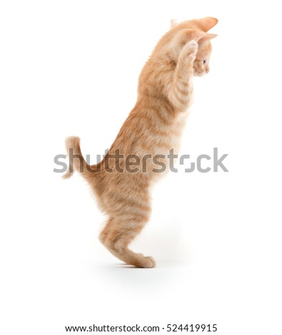 Cute yellow tabby baby kitten playing on white background