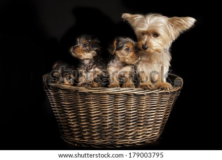 Cute Yorkie Mom and pups - stock photo