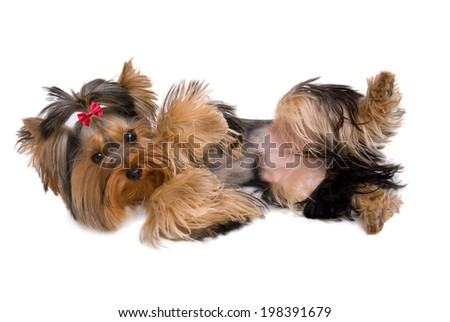 Cute yorkie playing dead - isolated on white - stock photo