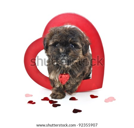 Cute Yorkie -Poo puppy stepping out of a red heart on a white background.