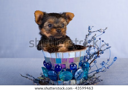 Cute Yorkie puppy in large teacup with blue glass pebbles on blue background