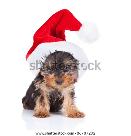 cute yorkie toy wearing a nice santa cap , over white - stock photo