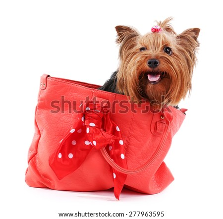 Cute Yorkshire terrier dog in red bag isolated on white - stock photo