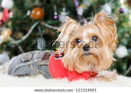Cute Yorkshire Terrier in front of Christmas tree