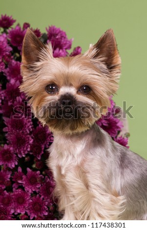Cute Yorkshire Terrier in studio with flowers