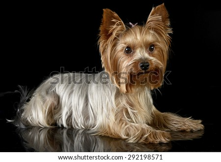 cute yorkshire terrier lying in a black photo studio