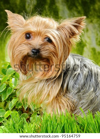 cute Yorkshire terrier on the grass
