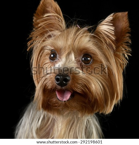 cute yorkshire terrier portrait in a black photo studio
