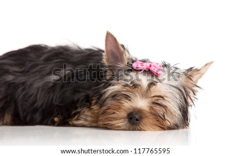 Cute yorkshire terrier puppy asleep, isolated over white - stock photo