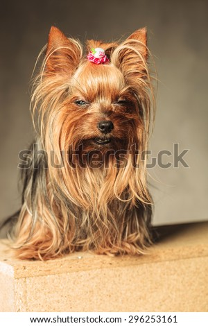 cute  yorkshire terrier puppy dog  posing with eyes closed in studio - stock photo