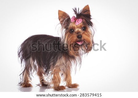 cute yorkshire terrier puppy dog standing on studio background and looking at the camera with mouth open and tongue exposed - stock photo
