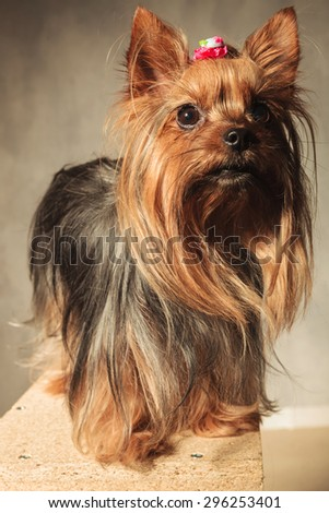 cute  yorkshire terrier puppy dog  standing ona wooded box and looks away from the camera in studio - stock photo