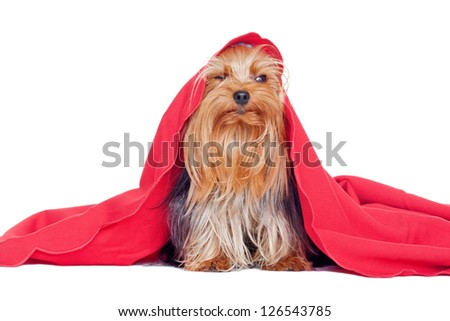 cute yorkshire terrier puppy dog under a blanket - stock photo