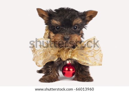 Cute Yorkshire terrier puppy with a Christmas necklace. - stock photo