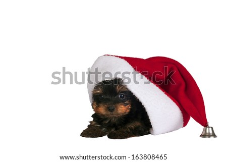 Cute Yorkshire terrier puppy with Santa hat on a white background.  - stock photo