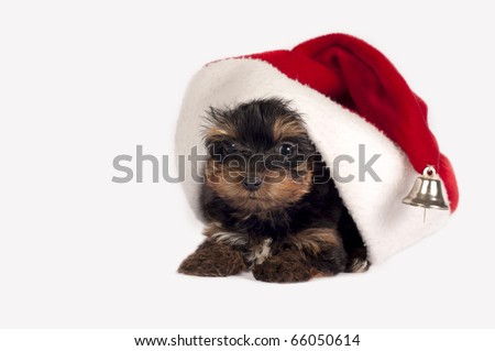 Cute Yorkshire terrier puppy with Santa hat on a white background.