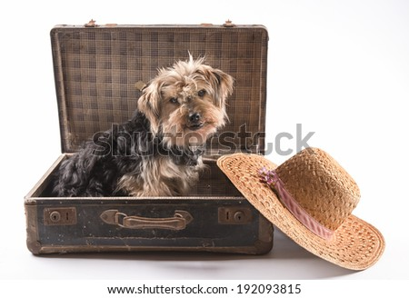 Cute Yorkshire terrier sitting In an old suitcase