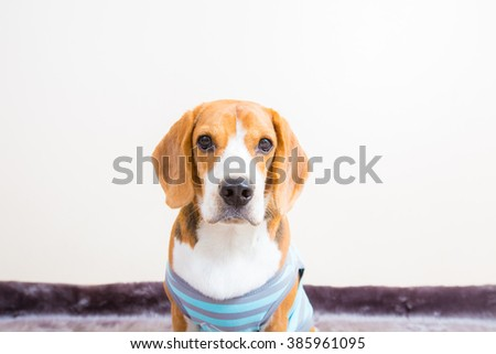 Cute young beagle dog wear T-shirt portrait