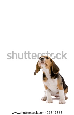 Cute young beagle pup looking up on white background